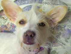 Evie - Jack Russell Terrier/Chinese Crested Dog mix (new addition 07/12) - perhaps her name should be Sleeping Beauty...