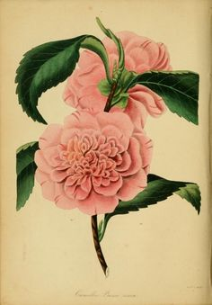 1838 - Paxton's Magazine of Botany and Register of Flowering Plants   by Paxton, Sir Joseph