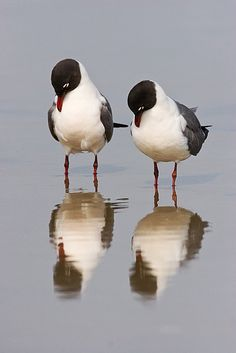 ワライカモメ(日本では迷鳥) Two Laughing Gulls gaze curiously at their reflections. | Seth Patterson