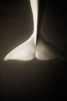 Beluga whale tail.  Photographer: Henry Horenstein