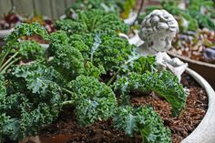Did you know that miniature vegetables don't require any special care? They only need what other ordinary varieties require: good soil, sufficient water, Growing Vegetables, Fruits And Vegetables, Herb Garden, Vegetable Garden, Kale Plant, Vertical Garden Diy, Herbs Indoors, Growing Seeds, Asparagus