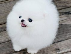 Cute Pomeranian Puppies White 3