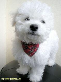 Cindy 5/2008a - Bichon Bolognese / Boloňský psík Bichon Bolognese, Coton De Tulear, Getting A Puppy, Dog Lady, Bichon Frise, Little Dogs, Maltese, Puppy Love, Cute Dogs