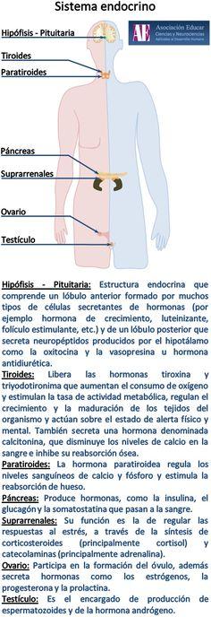 Ilustracion Neurociencias: Sistema endocrino - Asociación Educar Ciencias y Neurociencias aplicadas al Desarrollo Humano  www.asociacioneducar.com