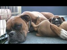 Sleepy 6 Week Old Boxer Puppies. OH MY GOSH!! Give me all of them!!!!