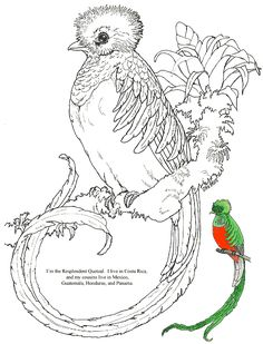 birds quetzal on pinterest birds costa rica and coloring pages. Black Bedroom Furniture Sets. Home Design Ideas