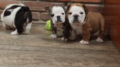 """Get excellent tips on """"Bulldog Puppies"""". They are actually accessible for you on our website. Cute Bulldog Puppies, Cute Bulldogs, English Bulldog Puppies, British Bulldog, Cute Dogs And Puppies, Baby Puppies, Funny Bulldog, Miniature English Bulldog, Australian Bulldog"""