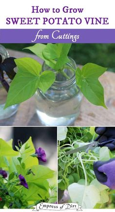 It's easy to grow sweet potato vine by taking cuttings from existing plants. This is an easy way for beginner gardeners to get free plants. Container Plants, Container Gardening, Potato Vine Planters, Gardening For Beginners, Gardening Tips, Sweet Potato Plant, Sweet Potato Vines, Growing Sweet Potatoes, Bokashi