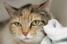 ***TO BE DESTROYED 11/14/17***BEAUTIFUL CALICO READY TO BE YOUR FUREVER FRIEND!!! Meet MacKenzie! This healthy cat would love to leave with her forever family today. MacKenzie is a 7 year old girl who has some self-inflicted trauma to her ears from a bad case of ear mites. She is not thriving in the shelter and desperately needs  a new home! ONLY HAS TONIGHT...TRANSPORTATION IS AVAILABLE. MUST BE RESERVED BY NOON TOMORROW.