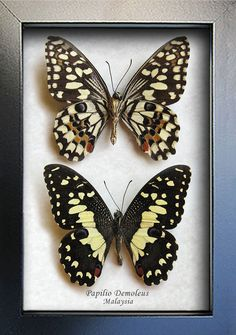 Lime Chequered Swallowtail Papilio Set Demoleus Real Butterflies Framed In Display by ButterfliesArtist on Etsy