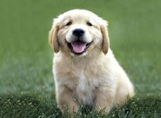 Awwww...golden retriever puppy :)