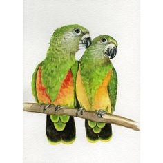 Senegal Parrots, 5x7 original watercolor painting, art collectables... ($35) ❤ liked on Polyvore featuring home, home decor, wall art, watercolor wall art, parrot wall art, bird home decor, bird paintings and watercolor bird paintings