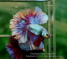 Pretty Fish, Beautiful Fish, Colorful Fish, Tropical Fish, Betta Fish Types, Beta Fish, Halfmoon Betta, African Cichlids, Ocean Creatures