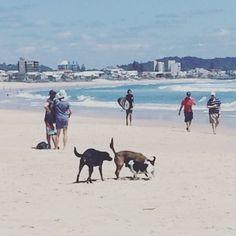 A nice lazy day on the beautiful Gold Coast  Australia :-) No better way to start a day than with a nice butt sniffing :-) #ilovemyfuckingdog  #ilovemydog #happydog #ilovemypet #dogpack  #dogsrule #dogstagram #dogsofinsta #goldcoast #queensland #currumbinbeach #ausfeels #happy #thisisaustralia #australia #rescuedog #rescuedogsofinstagram #kelpies #jackrussell #adoptdontshop by saveadogslifeayear http://ift.tt/1X9mXhV