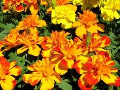 Snake repellent marigolds... I will do anything to repel snakes!!!!