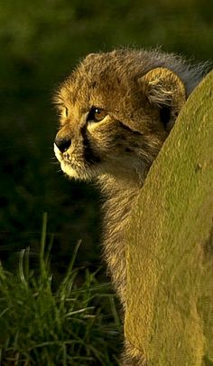 Cheetah cub Broxbourne by wwmike on Flickr.