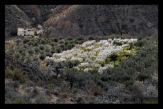 Almond grove in the Rambla De Oria, Almeria, Spain.
