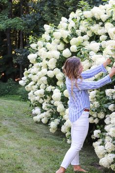 How to grow Limelight Hydrangeas. I'm sharing all my tips and pointers for how to grow limelight hydrangeas from new plants that are now over tall. Hydrangea Tree, Limelight Hydrangea, White Hydrangeas, White Hydrangea Garden, Little Lime Hydrangea, Pink Hydrangea, Hydrangea Landscaping, Front Yard Landscaping, Hedges Landscaping