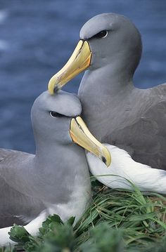 Global Gallery 'Chatham Albatross Affectionate Pair, Critically Endangered, the Pyramid, Chatham Islands' Framed Photographic Print Size: Sea Birds, Love Birds, Beautiful Birds, Animals Beautiful, Pretty Birds, Animals And Pets, Cute Animals, Chatham Islands, Mundo Animal