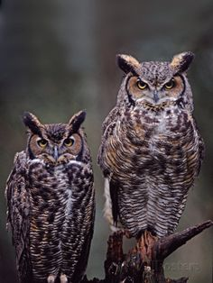 Great Horned Owls, Washington, USA Reproduction photographique