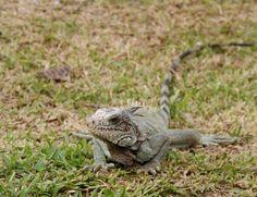 iguana DFC.