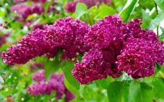 壁紙をダウンロードする 春, 春の花, busok, ライラック