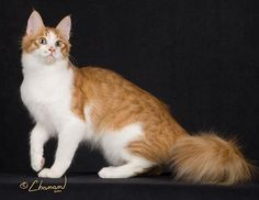 Cat in the world: About Turkish Angora Breed