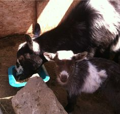 Pygmy goats in Simi Valley!!