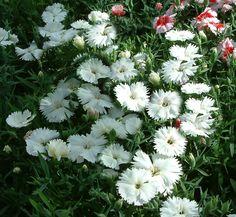 Sweet William Seeds Dianthus Seeds Prize White 500 Bulk Seeds