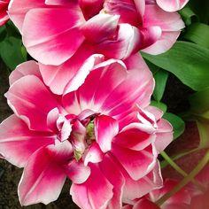 Tulips by flores_de_loyda
