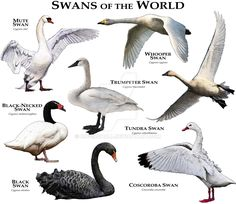 Swans of the World by rogerdhall.deviantart.com on @DeviantArt