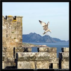 Islas Cíes, al fondo, Gaviota posándose sobre muralla de Monterreal.