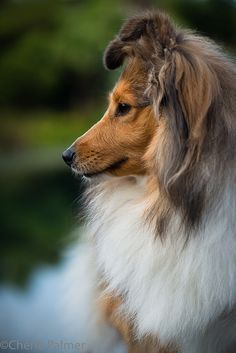 The Shetland Sheepdog originated in the and its ancestors were from Scotland, which worked as herding dogs. These early dogs were fairly Rough Collie, Collie Dog, Sheep Dog Puppy, Sheep Dogs, Dog Dna Test, Shetland Sheepdog Puppies, Herding Dogs, Love Dogs, Mundo Animal