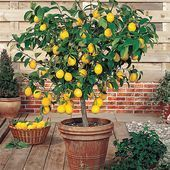 in Pot Meyer Dwarf Lemon Tree (Potted) at Lowe's. Meyer lemon can reach a height of 6 to 10 Ft. as a potted plant, though, the tree size can be kept small, generally about 4 to 6 Lemon Tree Potted, Citrus Trees, Potted Trees, Trees To Plant, Indoor Lemon Tree, Lemon Plant, Patio Trees, Patio Plants, Outdoor Plants