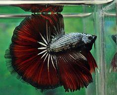 Black Copper Red Dragon Skyhawk OHM