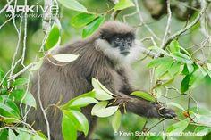 Bear monkey - View amazing Purple-faced langur photos - Trachypithecus vetulus - on Arkive New World Monkey, Especie Animal, Chimpanzee, Endangered Species, Predator, Old World, Survival, Bear, Monkeys