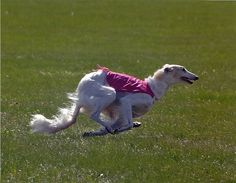 Borzoi lure coursing