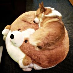 Corgi sleeping on a corgi