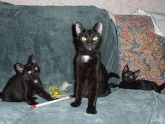 Meet Miss Ellie, a Petfinder adoptable Domestic Short Hair-black Cat in Colonia, NJ | Petfinder.com