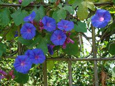 Campainha (Ipomoea purpurea) trepadeira - Bing Images