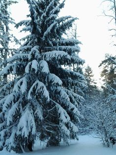 Russian winter forest
