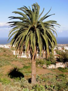 http://jungletropicale.com/2012/09/phoenix-canariensis/    #jardinage #palmiers    Cliquer l'image pour lire l'article.
