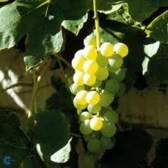 Pitloze Druif Himrod | De Fruittuin V.O.F.