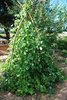 Pole beans growing on a teepee of redwood branches.  Bamboo poles, or any kind of branch, can also be used.