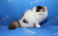 Gato da raça Persa, que estará na exposição do Clube Brasileiro do Gato - 21/11/2013