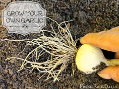 How to Grow your Own Garlic (it's easy!)