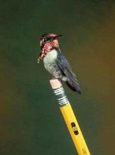 Cuban bee hummingbird (Mellisuga helenae) - not only is the smallest bird in the world, it is also the smallest warm-blooded animal in the world. Male length of 5 cm from beak to tail, weighs about the same as two paper clips. Females are slightly larger, but they seem to be tiny compared to some of the beetles and butterflies.