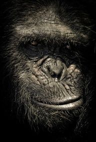 Wildlife photographer Gabi Guiard has created a stunning set of portraits showing the incredible expressive faces on chimpanzees Primates, Mammals, Beautiful Creatures, Animals Beautiful, Cute Animals, Wildlife Photography, Animal Photography, Regard Animal, Tier Fotos