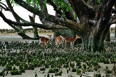 https://flic.kr/p/MzBAq6 | sundarban | the deers evening - at sundarban of bangladesh - the largest mangrove forest of the world and natural heritage of UNESCO ..   Copyright :Abdul Malek Babul FBPS . Cell:( +880) 01715298747 & 01837805350 E mail : babul.photopassion@gmail.com bimboo.babul@yahoo.com www.flickr.com/photos/55321771@N08