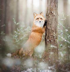 Red Fox by Alicja Zmysłowska